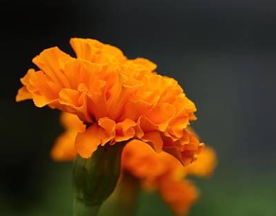 Photograph - Marigold Magic by I'ina Van Lawick