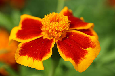 Photograph - Marigold by Mark Severn