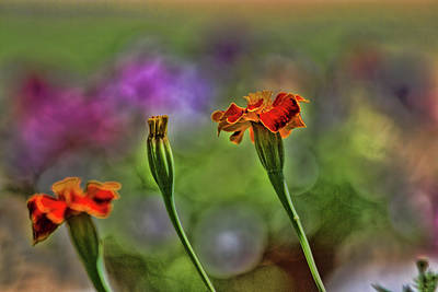Photograph - Marigold Trio by Alana Thrower