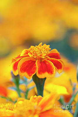 Asteraceae Photograph - Marigold Zenith by Tim Gainey