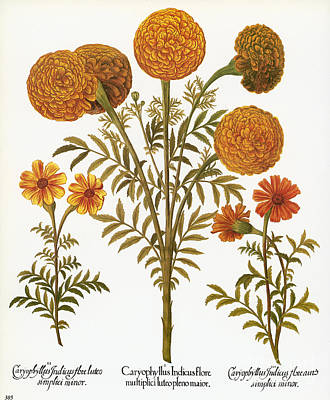 Photograph - Marigolds, 1613 by Granger