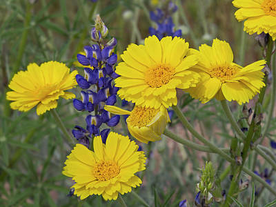 Photograph - Marigolds And Lupines by Sue Cullumber