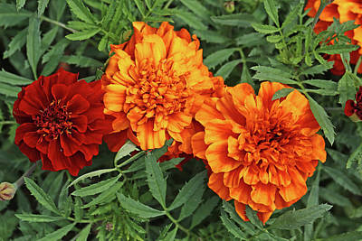 Photograph - Marigolds Dow Gardens 2 2018 by Mary Bedy