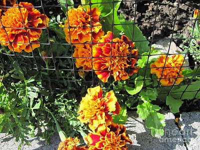 Photograph - Marigolds In Prison by Donna L Munro