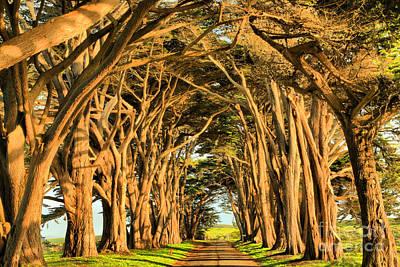 Marin County Tunnel Of Cypress Art Print