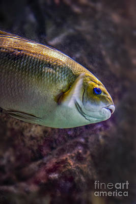 Photograph - Marine Fish by David Zanzinger