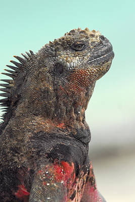 Photograph - Marine Iguana Head Shot by Alan Lenk