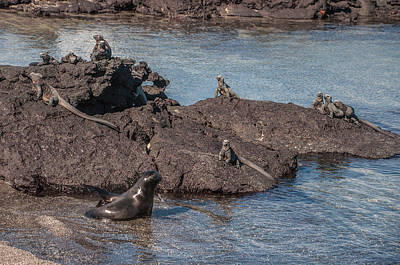 Photograph - Marine Iguanas And Sealion Pup At Punta Espinoza Fernandina Island Galapagos Islands by NaturesPix