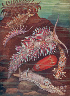 Photograph - Marine Invertebrates, Sea Slugs by Science Source