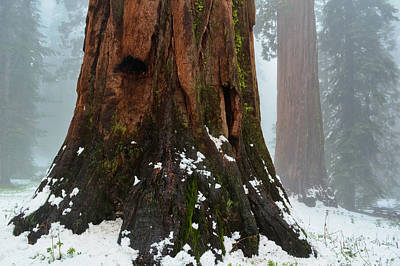 Yosemite California Photograph - Mariposa Grove Sequoia by Kyle Hanson