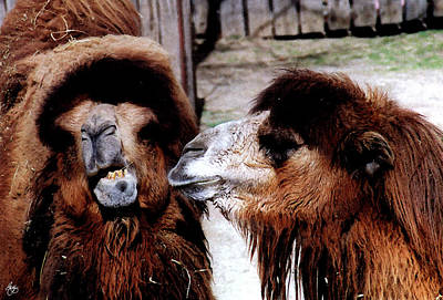 Photograph - Marital Strife Among Camels by Wayne King