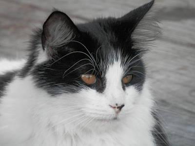 Photograph - Marley Cat Meowning by Belinda Lee