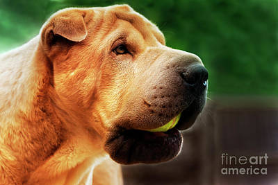 Photograph - Marley The Shar Pei With Ball by Terri Waters