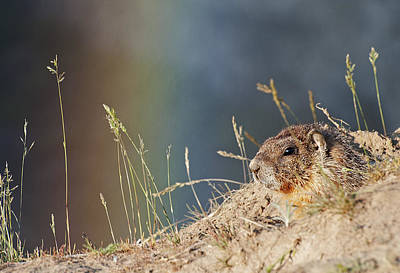 Photograph - Marmot And Rainbow by Doug Davidson