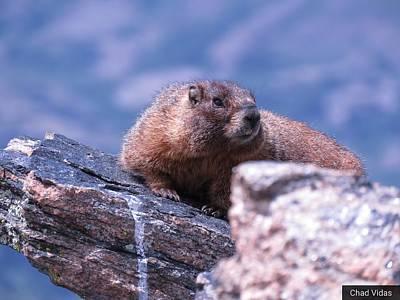 Marmot Original
