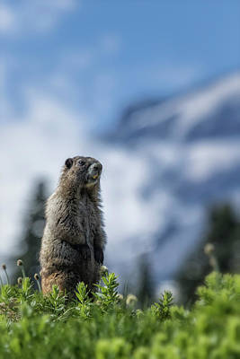 Photograph - Marmot Checking Out His Neighborhood At Mount Rainier, No. 3 by Belinda Greb