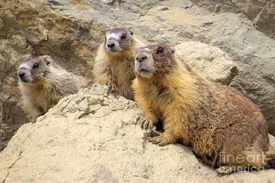 Photograph - Marmot Trio by Frank Townsley