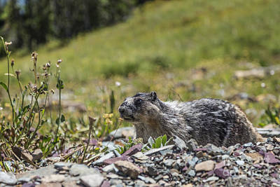 Photograph - Marmot In Glacier Np by Jemmy Archer