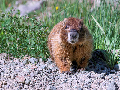 Photograph - Marmot by Kent Nancollas