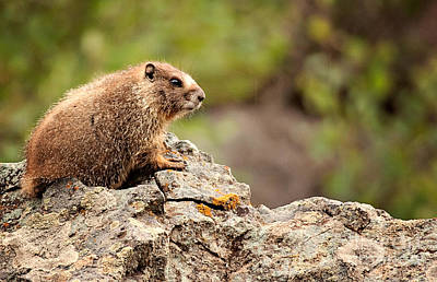 Photograph - Marmot by Lana Trussell