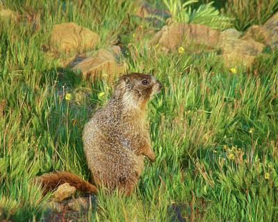 Photograph - Marmot by Nikolyn McDonald
