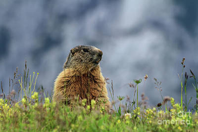Photograph - Marmot On Alpine Meadow by Antonio Scarpi