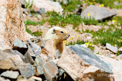 Steven Krull Royalty-Free and Rights-Managed Images - Marmot on Mount Massive Colorado by Steven Krull