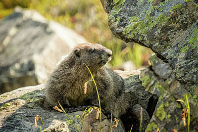 Photograph - Marmot On Naches Peak by Belinda Greb