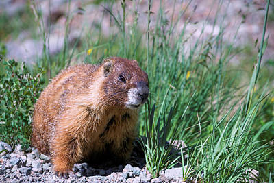 Photograph - Marmot On The Move by Kent Nancollas