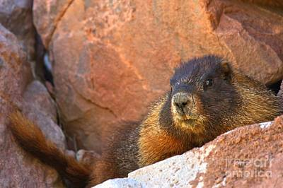 Photograph - Marmot On The Rocks by Adam Jewell