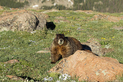 Photograph - Marmot by Sean Allen