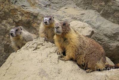 Photograph - Marmot Trio by Frank Townsley