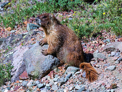 Photograph - Marmot_posing by Kent Nancollas