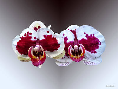 Photograph - Maroon And White Phalaenopsis Orchids Side By Side by Susan Savad