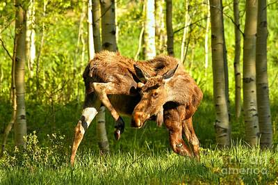 Photograph - Maroon Bells Moose by Adam Jewell