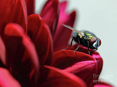 Photograph - Maroon Fly I by Mary Haber
