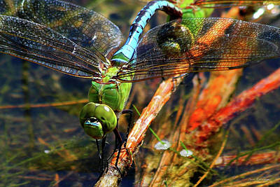 Dragonflies Mating Photograph - Married With Children Dragonflies Mating by Reid Callaway