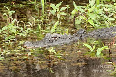Photograph - Marsh Gator by Carol Groenen