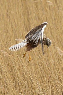 Marsh Harrier Hunting Art Print