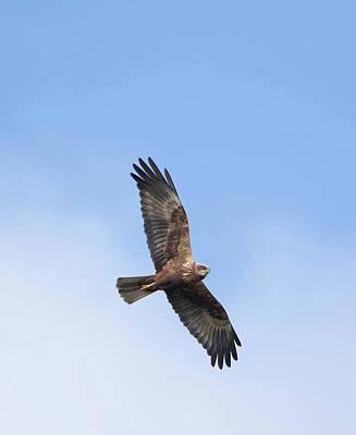 Photograph - Marsh Harrier by Peter Walkden