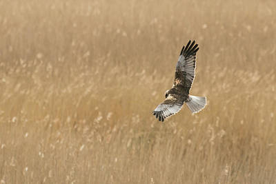 Photograph - Marsh Harrier by Wendy Cooper