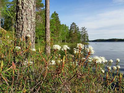 Photograph - Marsh Labrador Tea By Haukkajarvi by Jouko Lehto