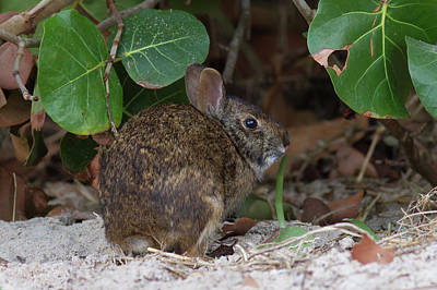 Photograph - Marsh Rabbit And Sea Grape by Paul Rebmann