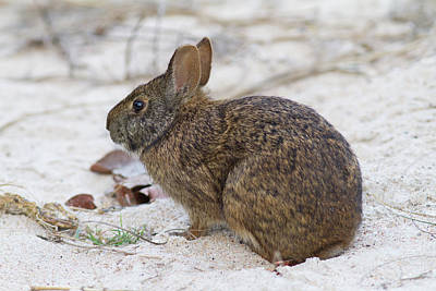 Photograph - Marsh Rabbit On Dune by Paul Rebmann