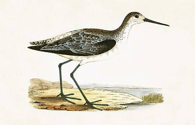 Sandpiper Drawing - Marsh Sandpiper by English School