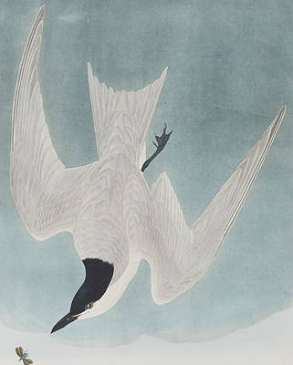 Flying Seagull Painting - Marsh Tern by John James Audubon
