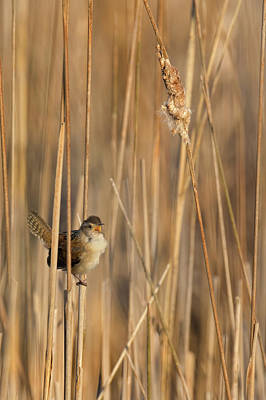 Wren Photograph - Marsh Wren by Bill Wakeley