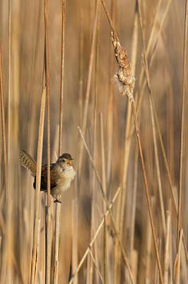 Photograph - Marsh Wren by Bill Wakeley