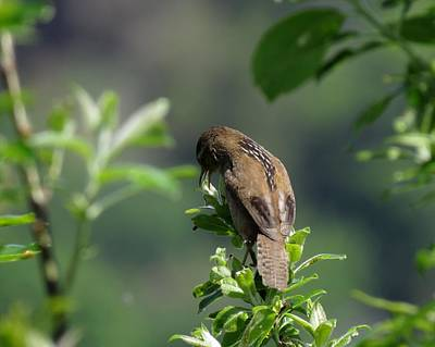 Photograph - Marsh Wren by I'ina Van Lawick