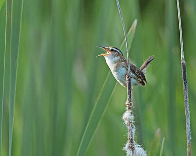 Photograph - Marsh Wren by Jim Zablotny